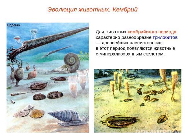 Эволюция животных. Кембрий Для животных кембрийского периода характерно разнообразие трилобитов — древнейших членистоногих; в этот период появляются животные с минерализованным скелетом.