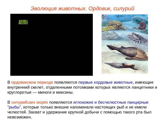 Эволюция животных. Ордовик, силурий В ордовикском периоде появляются первые хордовые животные, имеющие внутренний скелет, отдаленными потомками которых являются ланцетники и круглоротые — миноги и миксины. В силурийских морях появляются иглокожие и …