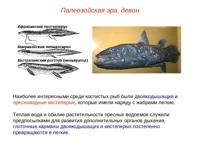 Наиболее интересными среди костистых рыб были двоякодышащие и пресноводные кистеперые, которые имели наряду с жабрами легкие. Теплая вода и обилие растительности пресных водоемов служили предпосылками для развития дополнительных органов дыхания, гло…