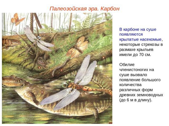 Палеозойская эра. Карбон В карбоне на суше появляются крылатые насекомые, некоторые стрекозы в размахе крыльев имели до 70 см. Обилие членистоногих на суше вызвало появление большого количества различных форм древних земноводных (до 6 м в длину).