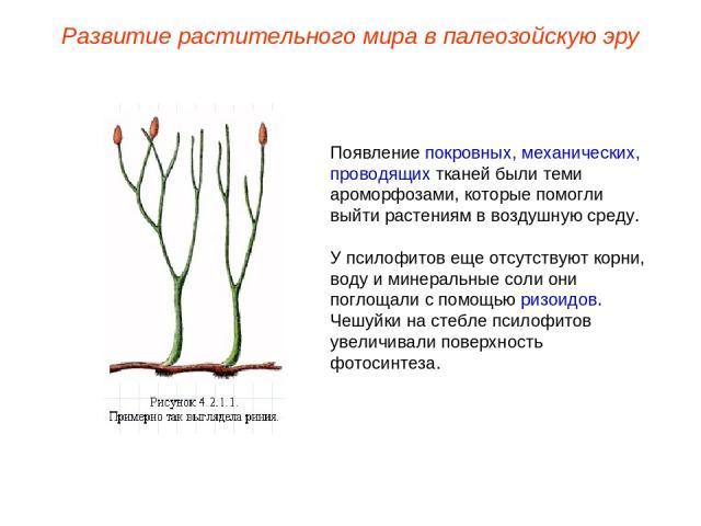 Появление покровных, механических, проводящих тканей были теми ароморфозами, которые помогли выйти растениям в воздушную среду. У псилофитов еще отсутствуют корни, воду и минеральные соли они поглощали с помощью ризоидов. Чешуйки на стебле псилофито…