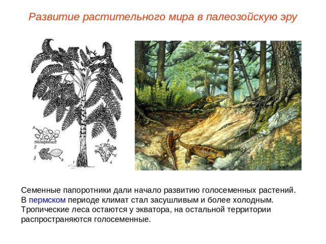 Семенные папоротники дали начало развитию голосеменных растений. В пермском периоде климат стал засушливым и более холодным. Тропические леса остаются у экватора, на остальной территории распространяются голосеменные. Развитие растительного мира в п…