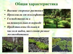Общая характеристика Высшие споровые растения Произошли от псилофитов Господство