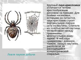 Крупный паук-крестовик отличается четким крестообразным рисунком на брюшке. Для