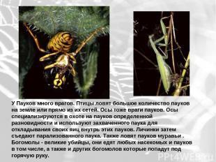 У Пауков много врагов. Птицы ловят большое количество пауков на земле или прямо