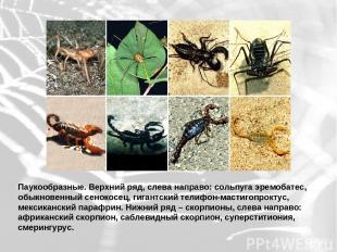 Паукообразные. Верхний ряд, слева направо: сольпуга эремобатес, обыкновенный сен