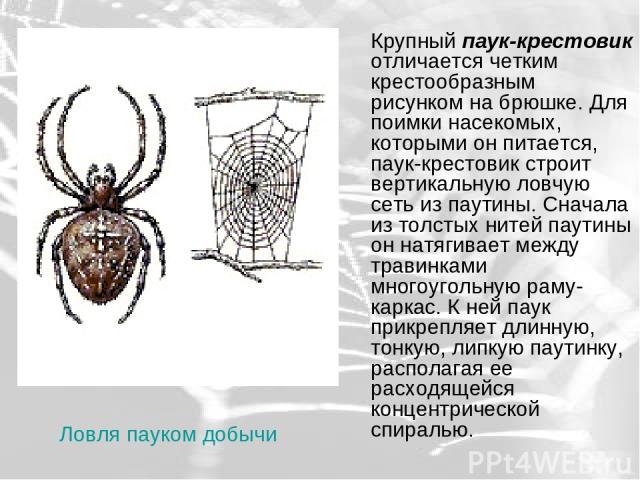Крупный паук-крестовик отличается четким крестообразным рисунком на брюшке. Для поимки насекомых, которыми он питается, паук-крестовик строит вертикальную ловчую сеть из паутины. Сначала из толстых нитей паутины он натягивает между травинками многоу…