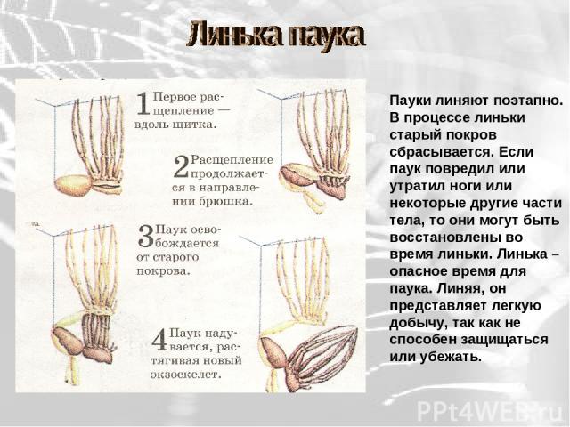Пауки линяют поэтапно. В процессе линьки старый покров сбрасывается. Если паук повредил или утратил ноги или некоторые другие части тела, то они могут быть восстановлены во время линьки. Линька – опасное время для паука. Линяя, он представляет легку…
