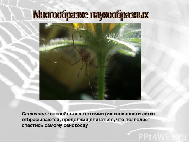 Сенокосцы способны к автотомии (их конечности легко отбрасываются, продолжая двигаться, что позволяет спастись самому сенокосцу