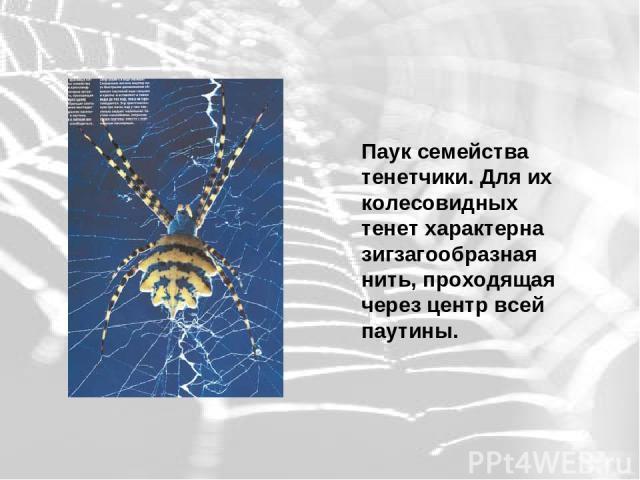 Паук семейства тенетчики. Для их колесовидных тенет характерна зигзагообразная нить, проходящая через центр всей паутины.
