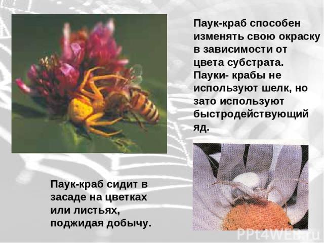 Паук-краб способен изменять свою окраску в зависимости от цвета субстрата. Пауки- крабы не используют шелк, но зато используют быстродействующий яд. Паук-краб сидит в засаде на цветках или листьях, поджидая добычу.