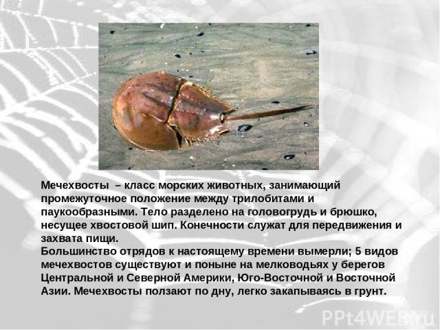 Мечехвосты – класс морских животных, занимающий промежуточное положение между трилобитами и паукообразными. Тело разделено на головогрудь и брюшко, несущее хвостовой шип. Конечности служат для передвижения и захвата пищи. Большинство отрядов к насто…