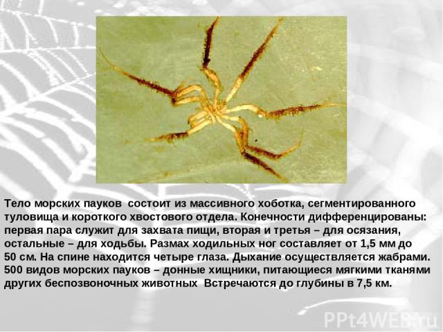 Тело морских пауков состоит из массивного хоботка, сегментированного туловища и короткого хвостового отдела. Конечности дифференцированы: первая пара служит для захвата пищи, вторая и третья – для осязания, остальные – для ходьбы. Размах ходильных н…