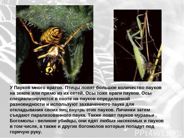У Пауков много врагов. Птицы ловят большое количество пауков на земле или прямо из их сетей. Осы тоже враги пауков. Осы специализируются в охоте на пауков определенной разновидности и используют захваченного паука для откладывания своих яиц внутрь э…