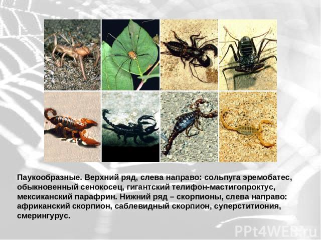 Паукообразные. Верхний ряд, слева направо: сольпуга эремобатес, обыкновенный сенокосец, гигантский телифон-мастигопроктус, мексиканский парафрин. Нижний ряд – скорпионы, слева направо: африканский скорпион, саблевидный скорпион, суперститиония, смер…