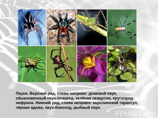 Пауки. Верхний ряд, слева направо: домовой паук, обыкновенный паук-птицеед, зелёная певцетия, кругопряд-нефрила. Нижний ряд, слева направо: каролинский тарантул, чёрная вдова, паук-бокоход, рыбный паук.