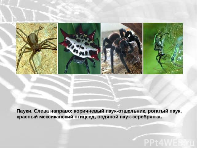 Пауки. Слева направо: коричневый паук-отшельник, рогатый паук, красный мексиканский птицеед, водяной паук-серебрянка.