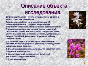 Описание объекта исследования. Ветреница дубравная – многолетнее растение, 10-25