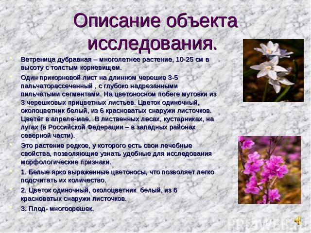 Описание объекта исследования. Ветреница дубравная – многолетнее растение, 10-25 см в высоту с толстым корневищем. Один прикорневой лист на длинном черешке 3-5 пальчаторассеченный , с глубоко надрезанными пильчатыми сегментами. На цветоносном побеге…