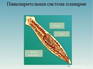 Пищеварительная система планарии Глотка Рот Ветви кишечника