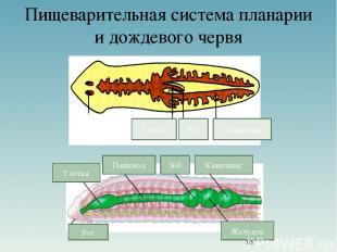 Пищеварительная система планарии и дождевого червя Рот Глотка Кишечник Рот Глотк