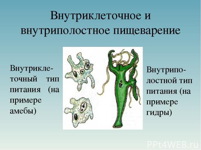 Внутриклеточное и внутриполостное пищеварение Внутрикле-точный тип питания (на примере амебы) Внутрипо-лостной тип питания (на примере гидры)