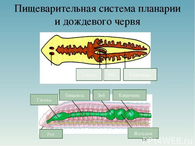 Пищеварительная система планарии и дождевого червя Рот Глотка Кишечник Рот Глотка Пищевод Зоб Кишечник Желудок