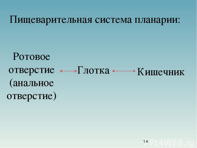 Пищеварительная система планарии: Ротовое отверстие (анальное отверстие) Глотка Кишечник