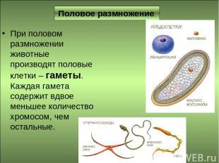 Половое размножение. При половом размножении животные производят половые клетки