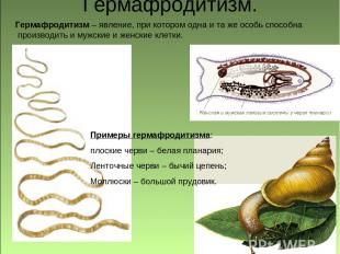 Гермафродитизм. Примеры гермафродитизма: плоские черви – белая планария; Ленточн