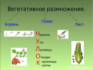 Вегетативное размножение. Корень Побег Лист Черенки Усы Луковицы Отводки -орневи