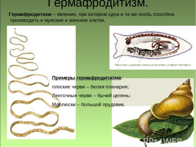 Гермафродитизм. Примеры гермафродитизма: плоские черви – белая планария; Ленточные черви – бычий цепень; Моллюски – большой прудовик. Гермафродитизм – явление, при котором одна и та же особь способна производить и мужские и женские клетки.