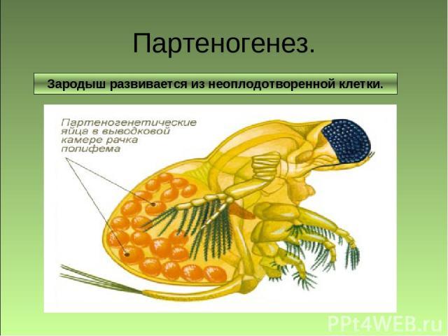 Зародыш развивается без оплодотворения яйцеклетки. Партеногенез. Зародыш развивается из неоплодотворенной клетки.