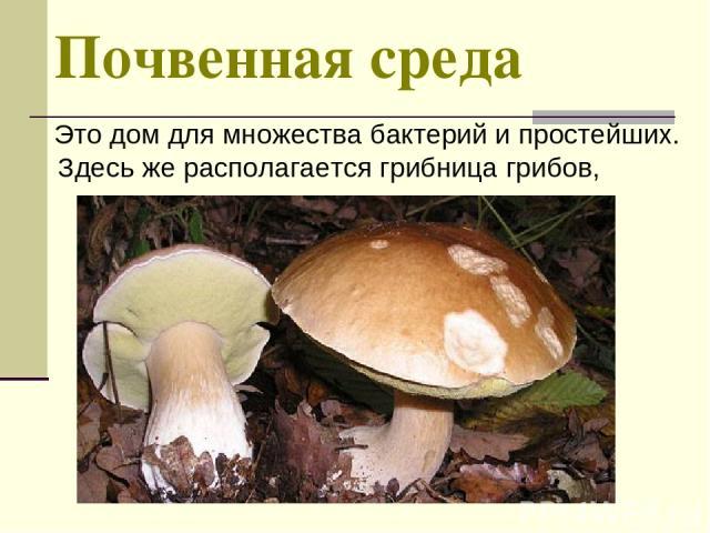 Почвенная среда Это дом для множества бактерий и простейших. Здесь же располагается грибница грибов,