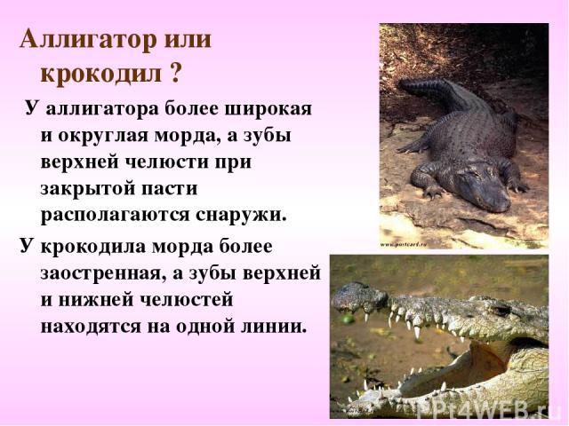 Аллигатор или крокодил ? У аллигатора более широкая и округлая морда, а зубы верхней челюсти при закрытой пасти располагаются снаружи. У крокодила морда более заостренная, а зубы верхней и нижней челюстей находятся на одной линии.