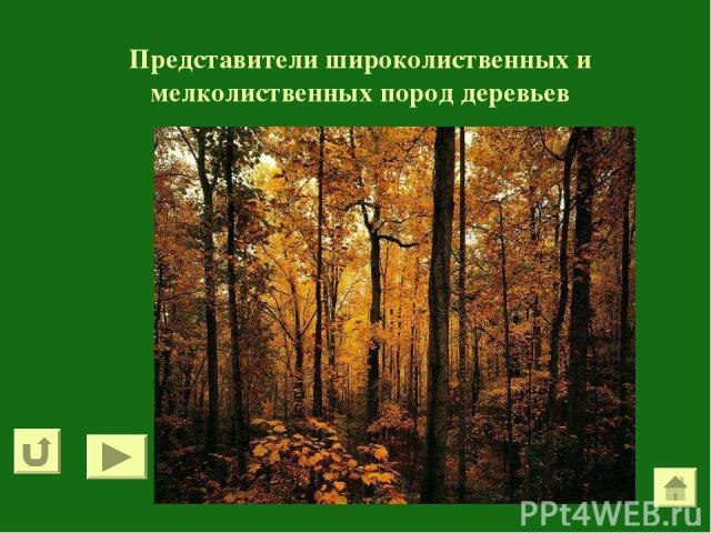 Представители широколиственных и мелколиственных пород деревьев