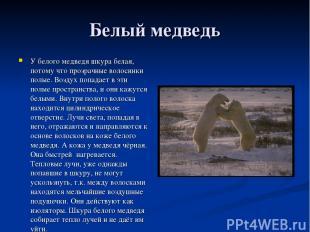 Белый медведь У белого медведя шкура белая, потому что прозрачные волосинки полы
