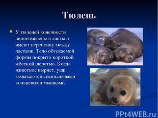 Тюлень У тюленей конечности видоизменены в ласты и имеют перепонку между ластами