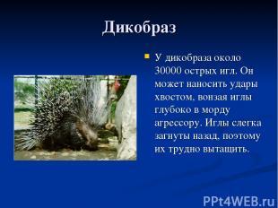 Дикобраз У дикобраза около 30000 острых игл. Он может наносить удары хвостом, во