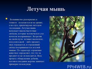 Летучая мышь Большинство рукокрылых в темноте полагаются не на зрение, а на слух