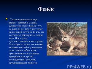 Фенёк Самая маленькая лисица – фенёк - обитает в Сахаре. Длина тела этого зверьк