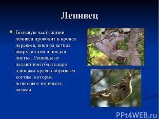 Ленивец Большую часть жизни ленивец проводит в кронах деревьев, вися на ветках в