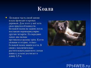 Коала Большую часть своей жизни коала проводит в кронах деревьев. Для этого у не