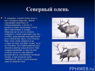 Северный олень У северных оленей мочка носа у всех покрыта шерстью, зимой спасаю