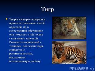 Тигр Тигр в зоопарке наверняка привлечет внимание своей окраской, но в естествен