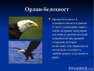 Орлан-белохвост Орлан-белохвост в основном питается рыбой. У него удлинённые лап