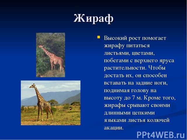 Жираф Высокий рост помогает жирафу питаться листьями, цветами, побегами с верхнего яруса растительности. Чтобы достать их, он способен вставать на задние ноги, поднимая голову на высоту до 7 м. Кроме того, жирафы срывают своими длинными цепкими язык…