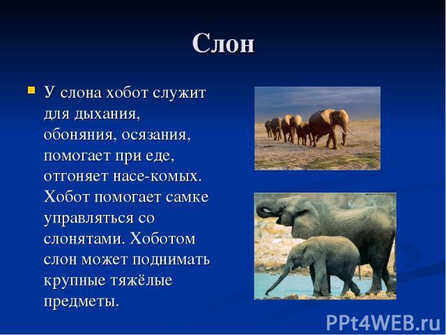 Слон У слона хобот служит для дыхания, обоняния, осязания, помогает при еде, отгоняет насе-комых. Хобот помогает самке управляться со слонятами. Хоботом слон может поднимать крупные тяжёлые предметы.
