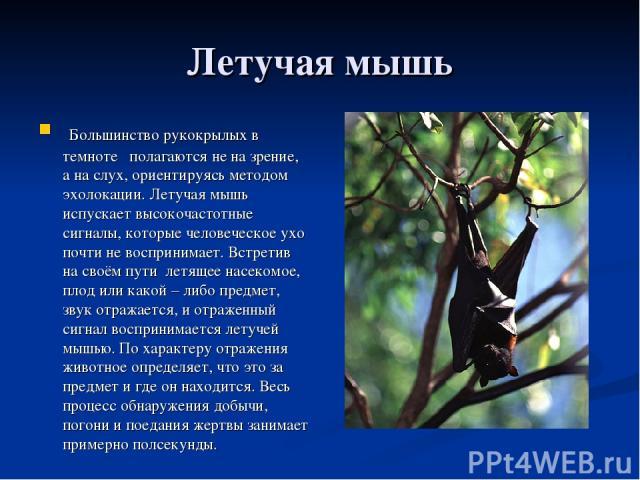 Летучая мышь Большинство рукокрылых в темноте полагаются не на зрение, а на слух, ориентируясь методом эхолокации. Летучая мышь испускает высокочастотные сигналы, которые человеческое ухо почти не воспринимает. Встретив на своём пути летящее насеком…