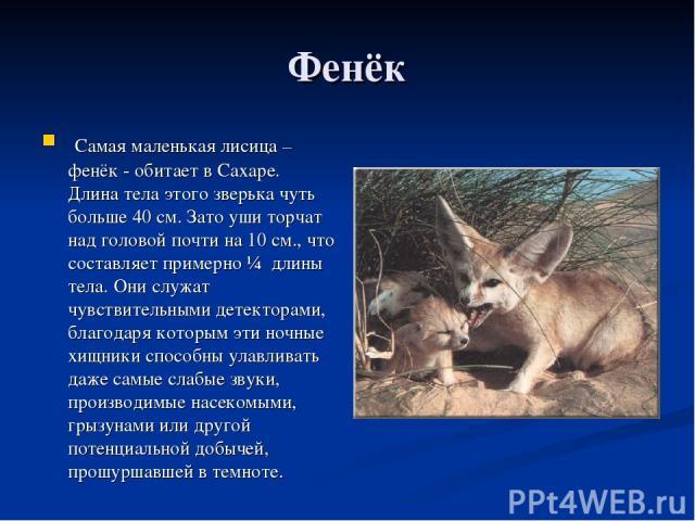 Фенёк Самая маленькая лисица – фенёк - обитает в Сахаре. Длина тела этого зверька чуть больше 40 см. Зато уши торчат над головой почти на 10 см., что составляет примерно ¼ длины тела. Они служат чувствительными детекторами, благодаря которым эти ноч…